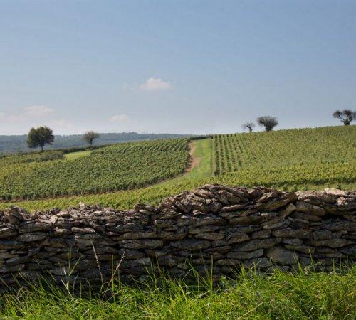 Paysage dans le vignoble du Maconnais : Chardonnay.